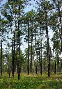 Group of Long Leaf Pine Trees in woods.