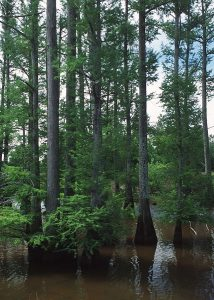 Bald Cypress Tree growing in the swamp.